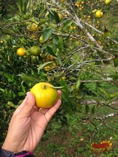 orange picking in Sagada