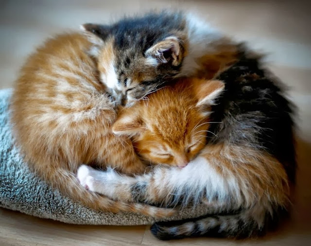 два котёнка спят в обнимку