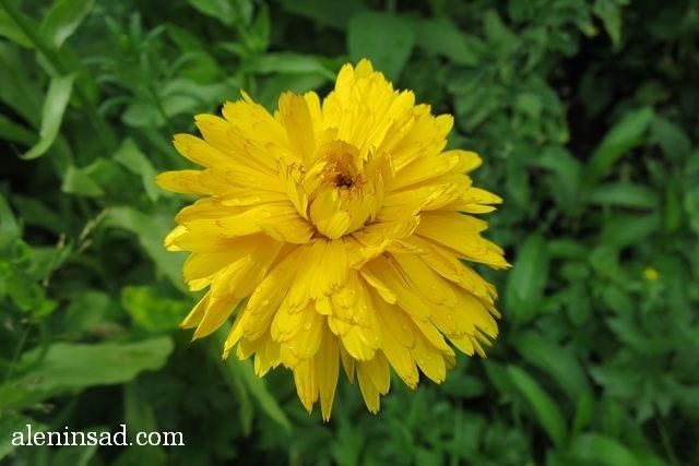 календула, ноготки, Calendula officinalis, аленин сад, цветы, июль