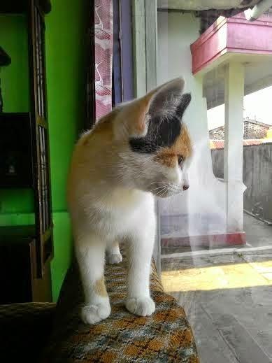 foto kucing calico bernama hikari