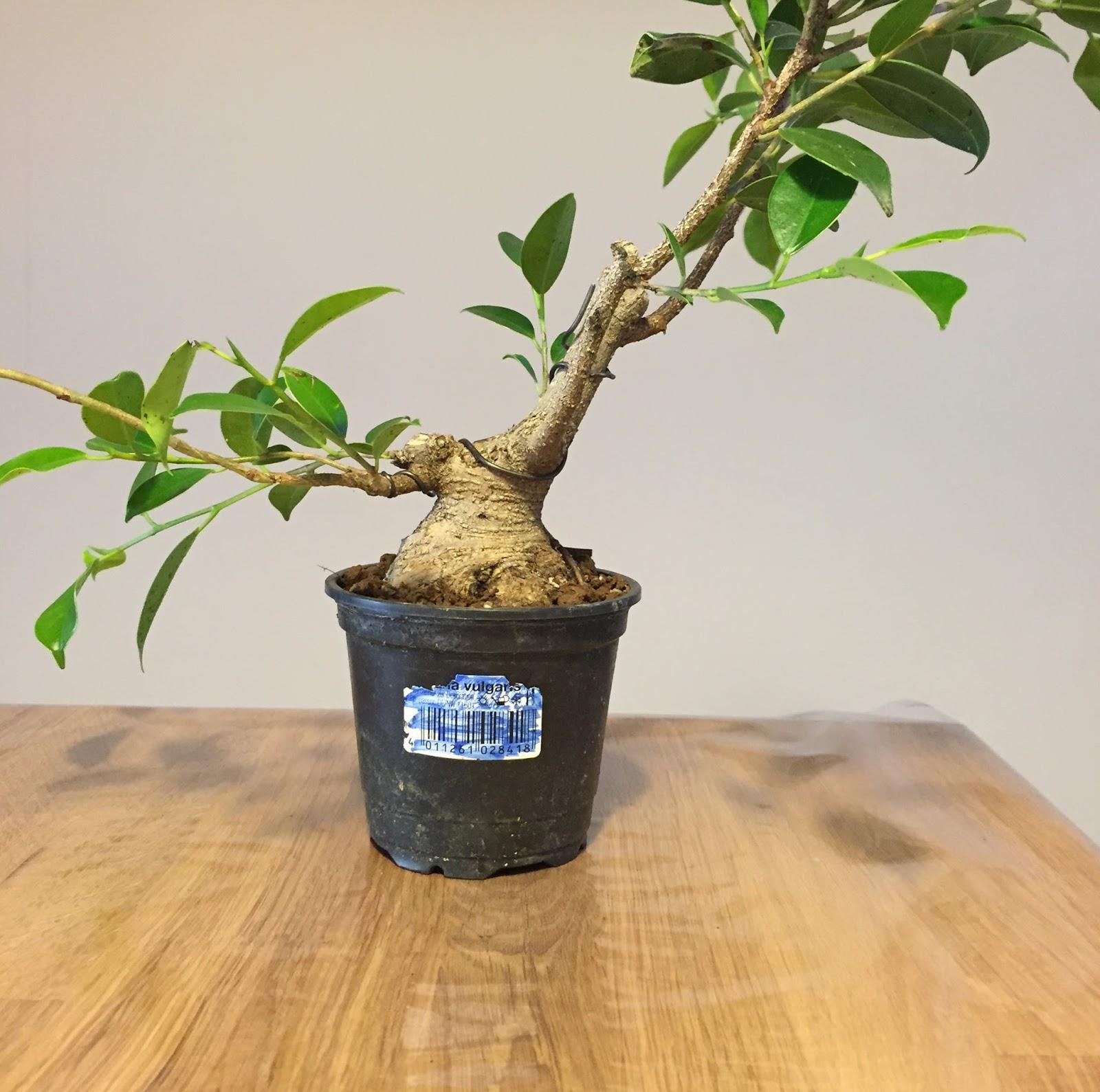 shohin y mini bonsai trabajando con un mini ficus. Black Bedroom Furniture Sets. Home Design Ideas