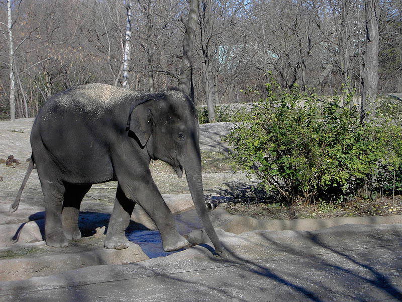 This is another not-quite-adult elephant at our zoo.
