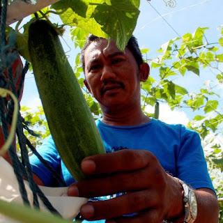 Cucumber farmer