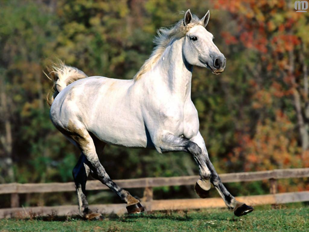 http://1.bp.blogspot.com/-RSL1kMOQhAc/TnbVFZrYieI/AAAAAAAAA9E/d79MQBXFDgU/s1600/White+horse+wallpapers+%25285%2529.jpg