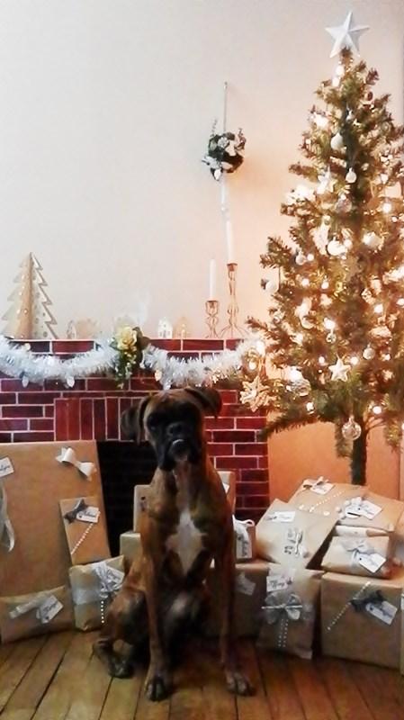 Boxer et paquets cadeaux Noël au pied du sapin