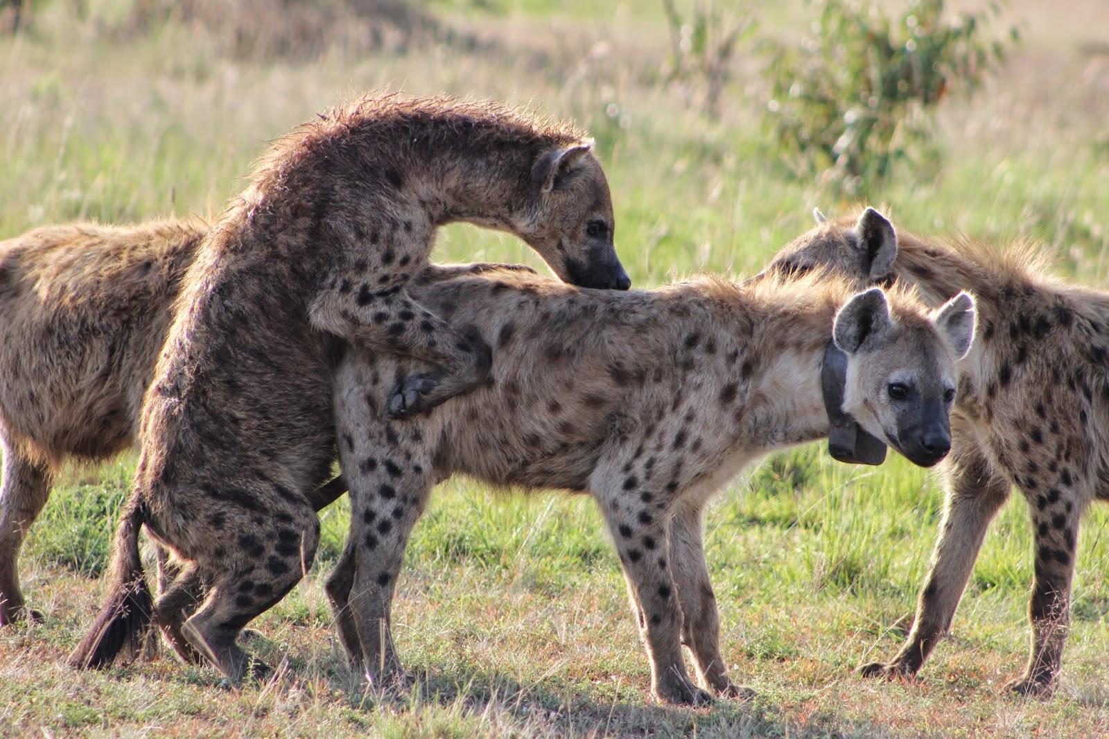 Hyena Dog Breed
