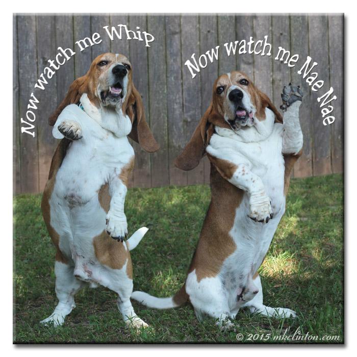 Basset Hound dancing to Watch Me #WhipDance