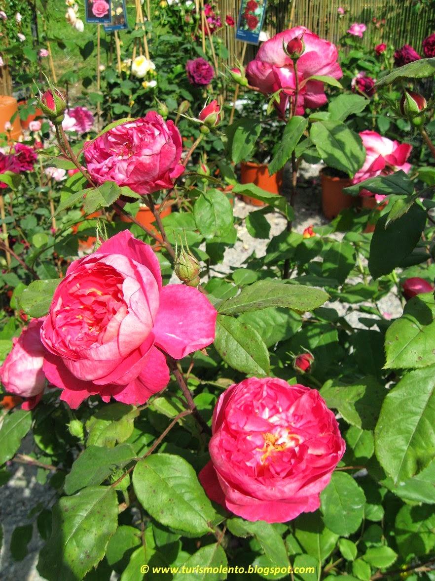 Turismo lento orticola 2014 rose d 39 italia erbe fiori for Rose piante