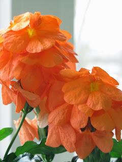 кроссандр, комнатные растения, цветущие цветы, однолетки, однолетники,