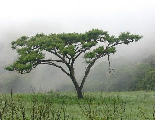 Sekilas Tentang Pohon Akasia