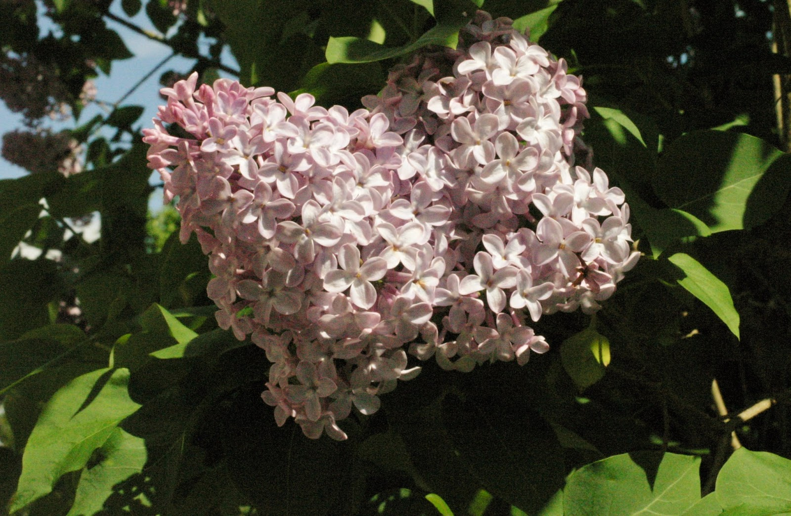 On plot 59 oh to be in england now spring is here - Syringa vulgaris ...