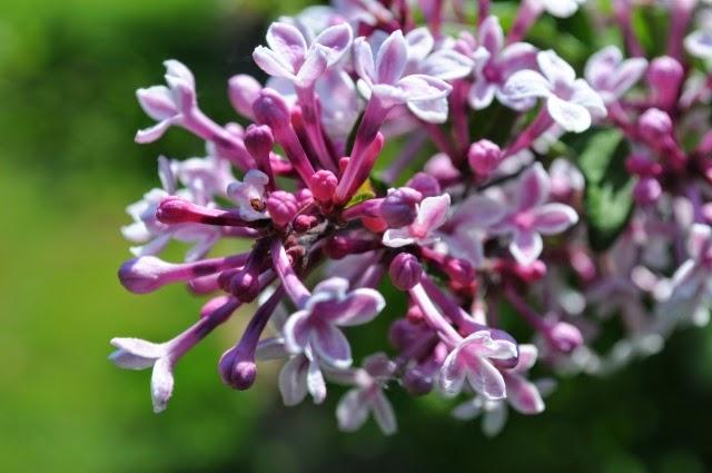 arte y jardiner a lilas syringa vulgaris. Black Bedroom Furniture Sets. Home Design Ideas