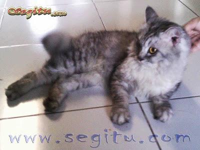 Kucing Anggora Tiger Segitu Petshop