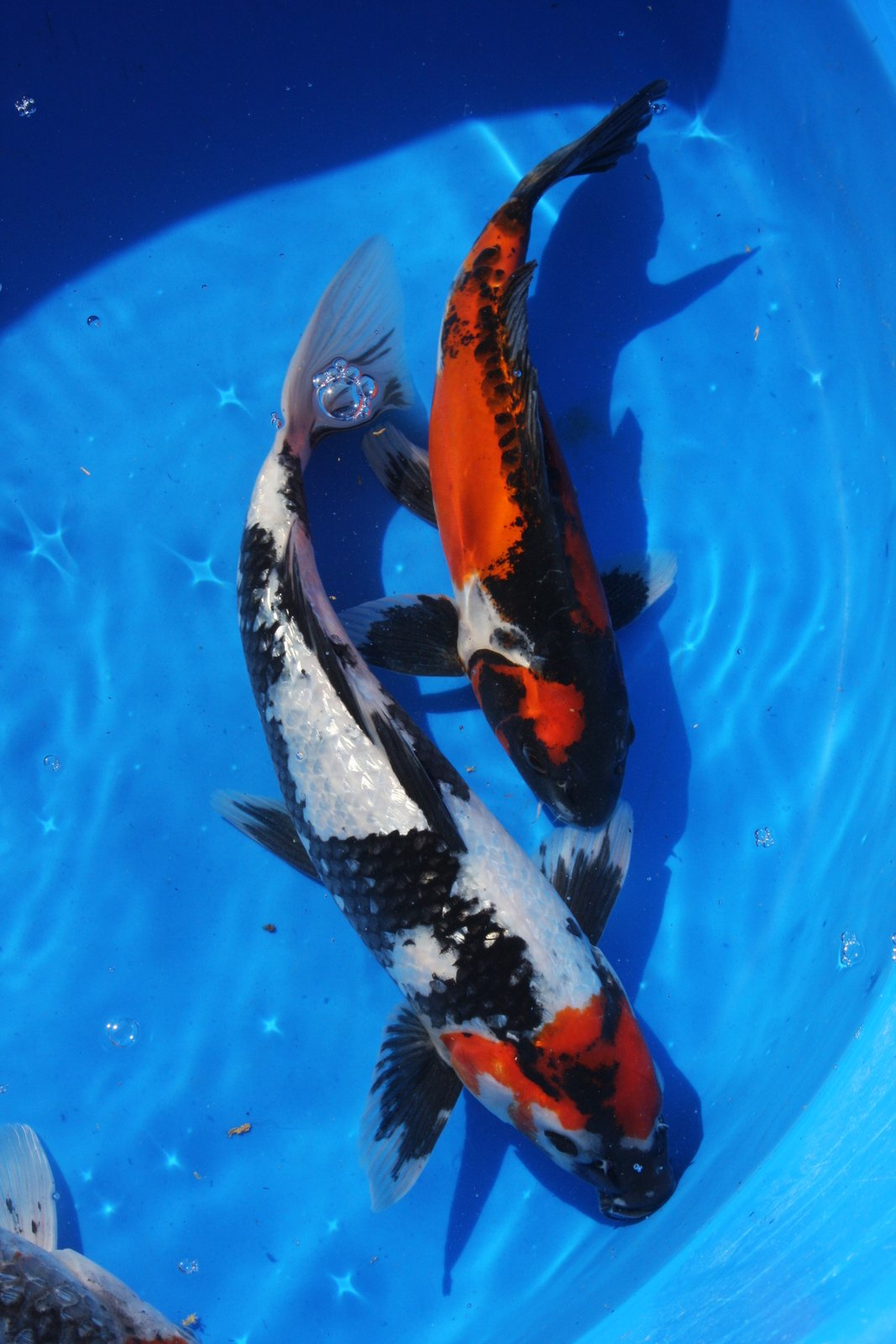 The blackwater blog blackwater creek butterfly koi for Butterfly koi