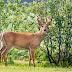 Deer, Practising the Art of Deception