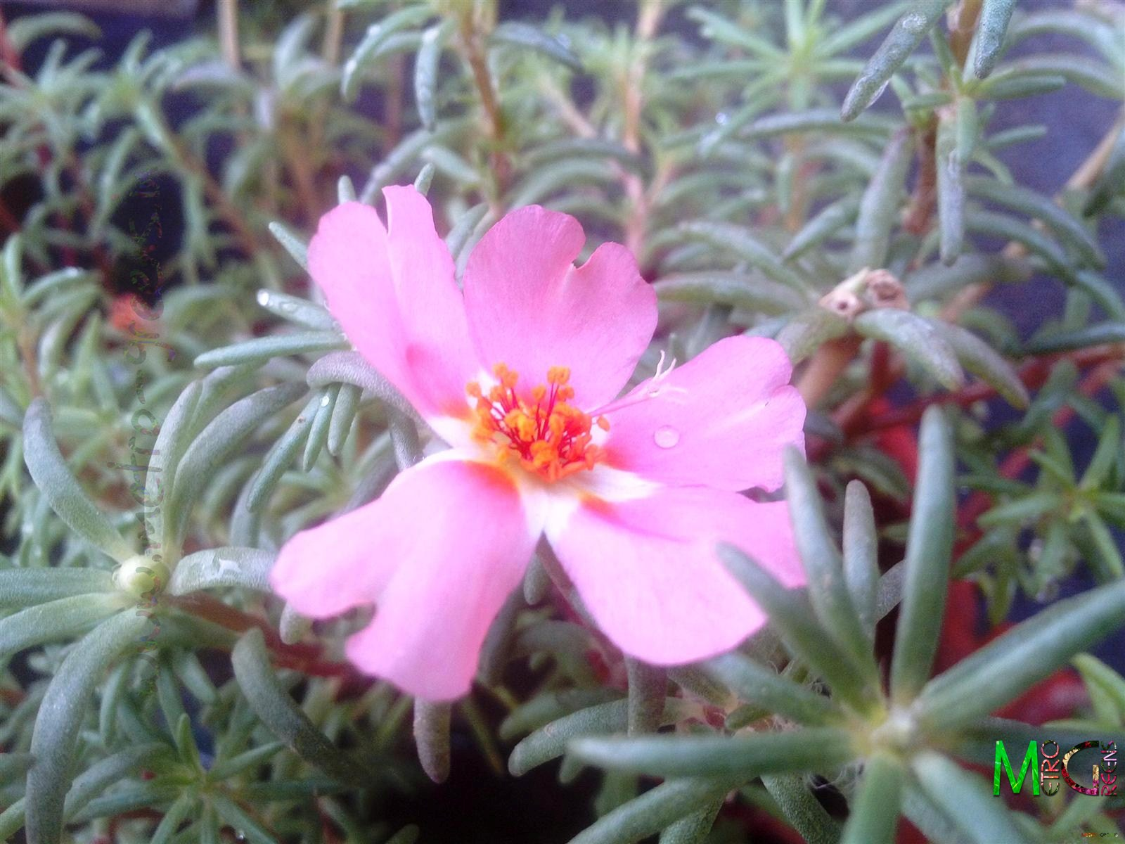 Metro Greens: A light pink portulaca bloom.