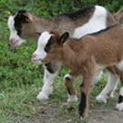 Goat couple