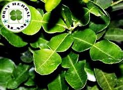 manfaat daun jeruk purut, obat herbal tradisional,