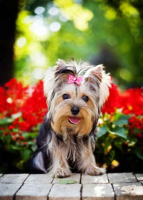 Health problems in Yorkshire Terrier