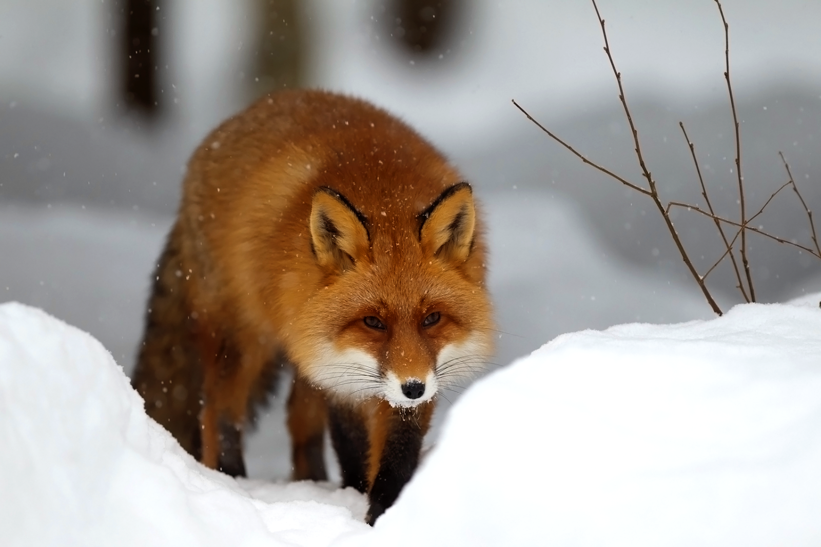 red fox in snow - photo #3