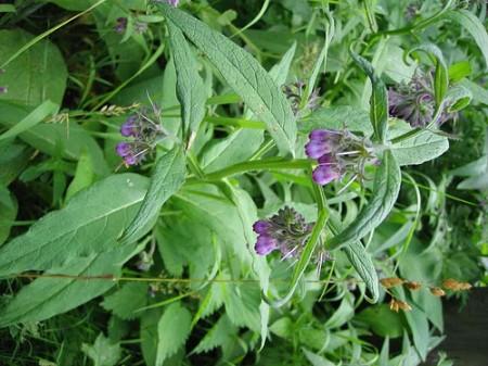 plantas medicinales y aromaticas wikipedia