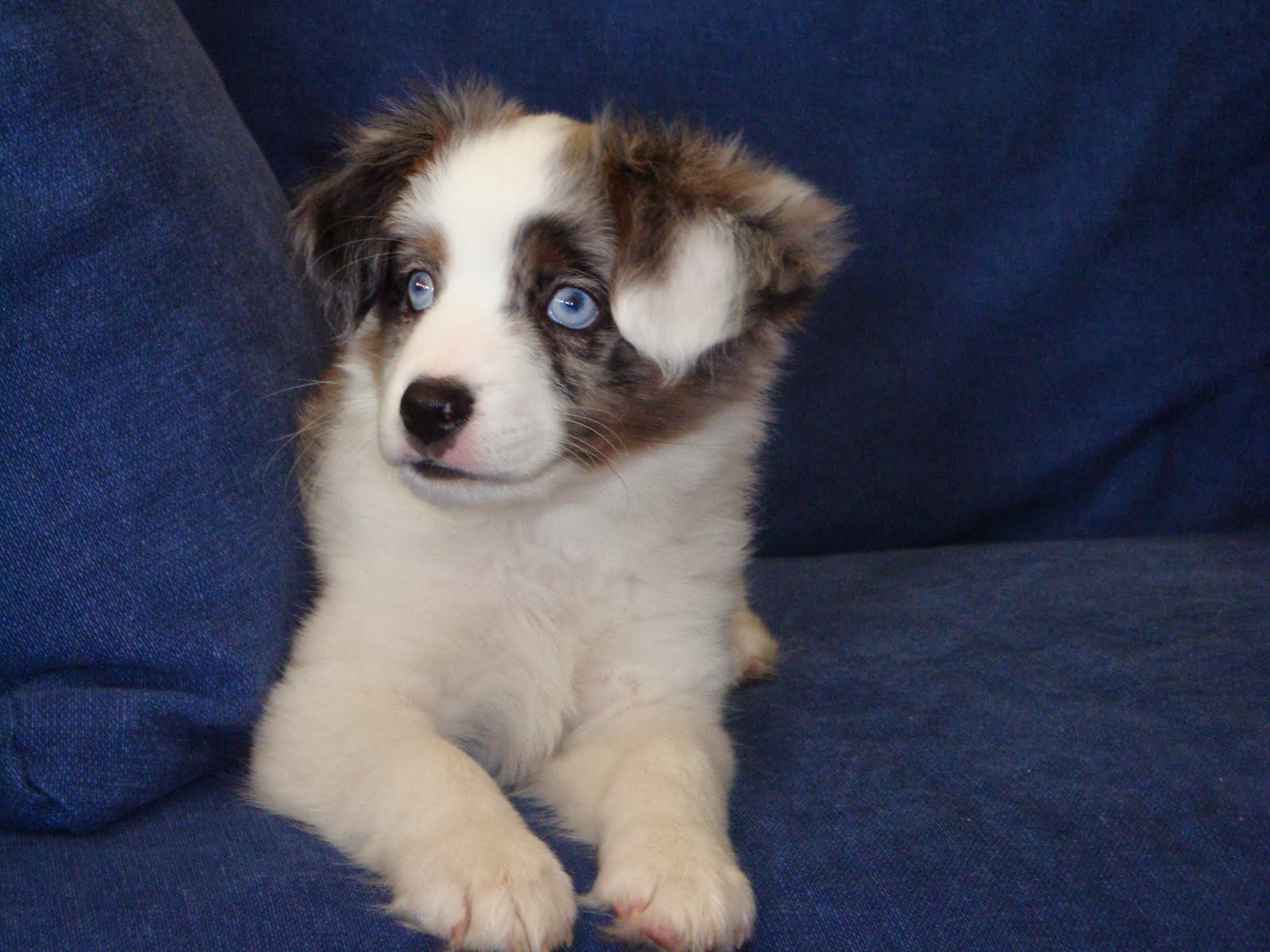 Shiloh Our Mini Australian Shepherd
