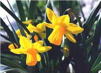 Piante e fiori narciso narcissus for Narciso giallo