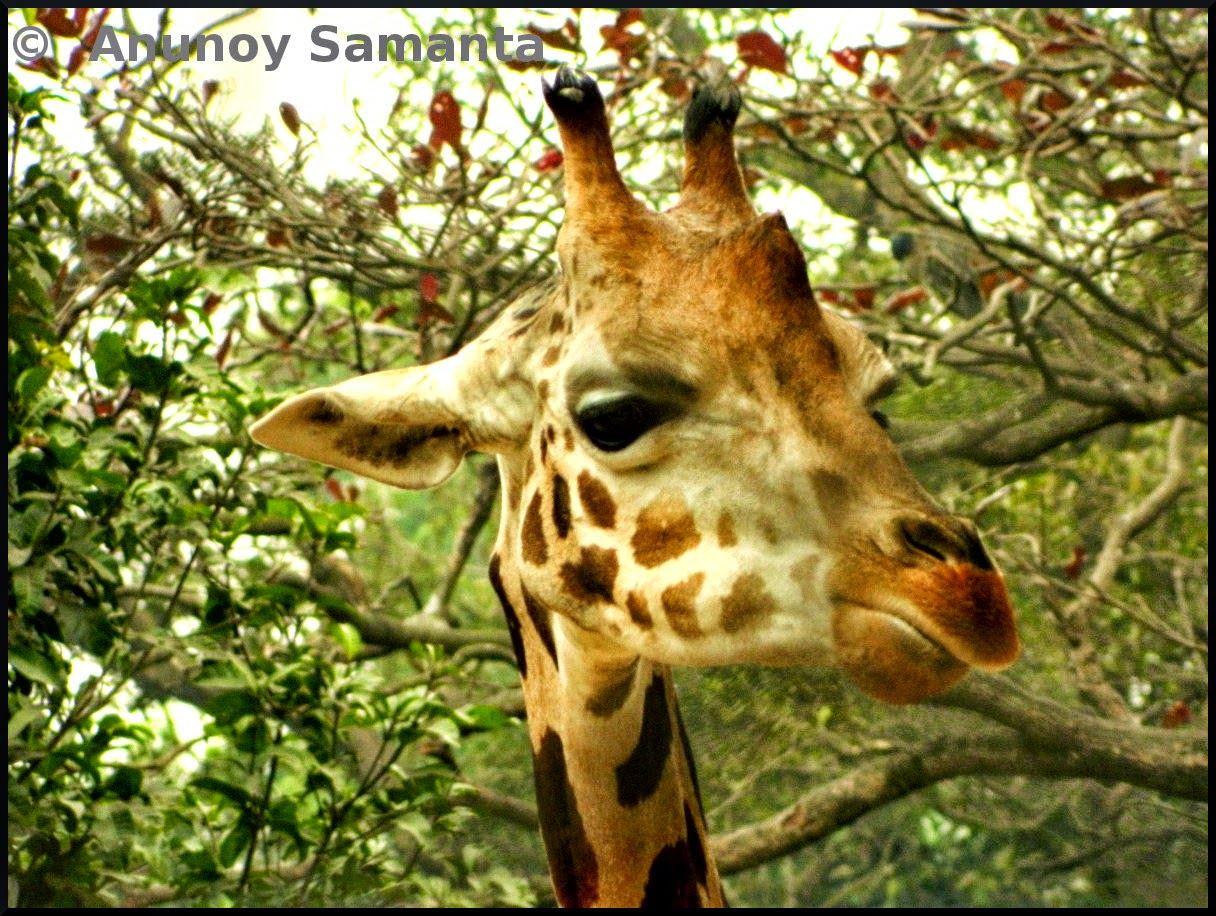 A Giraffe at Kolkata Zoo