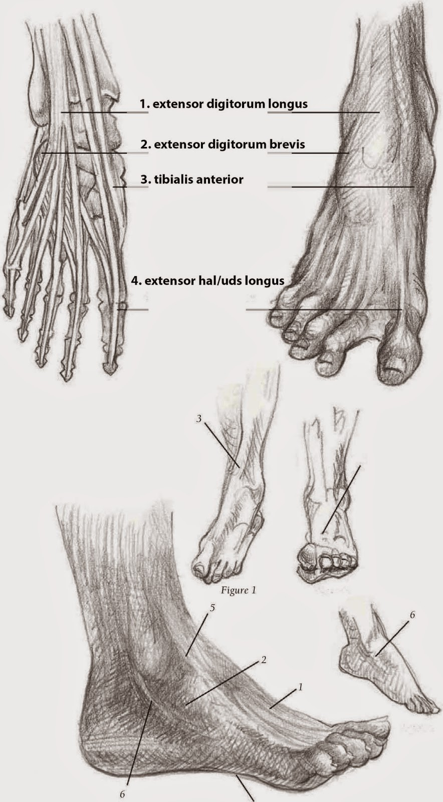 Drawings: DRAWING THE FOOT