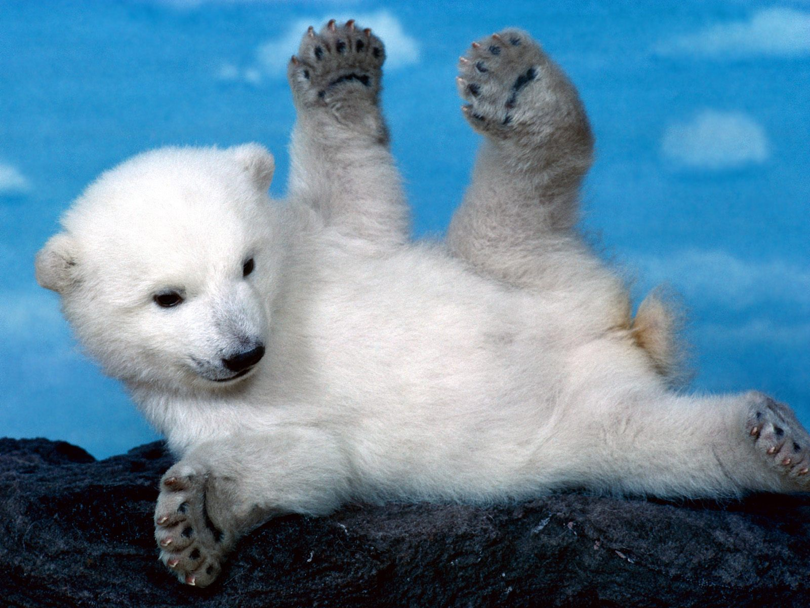 http://1.bp.blogspot.com/-RVce82lHD8g/TZjT4cIuGgI/AAAAAAAAAAM/5TaTiobWZmA/s1600/Wallpapers_de_animales_osos_polares_3.jpg