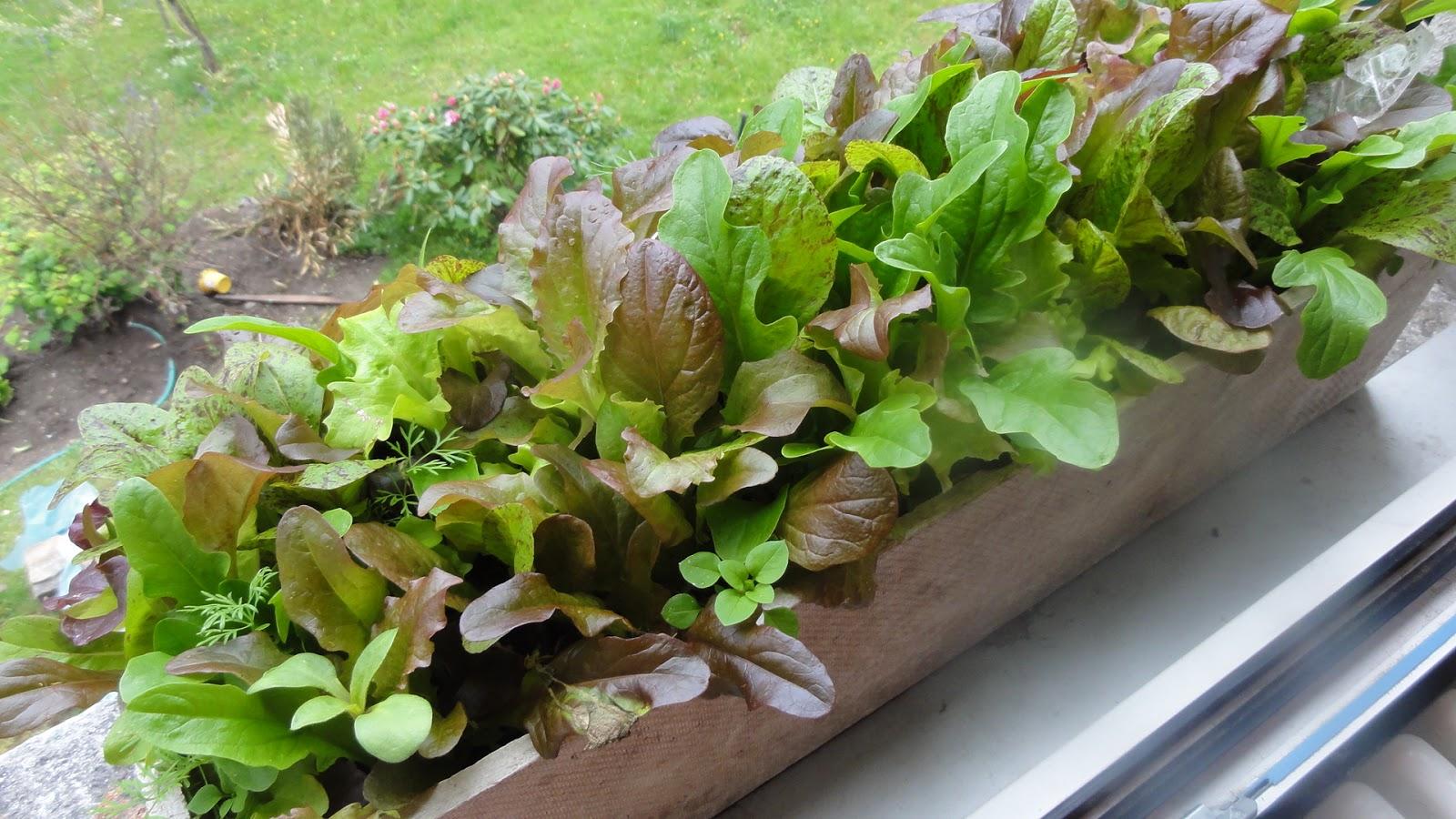 Giardinaggio laura ponte in valtellina insalata in casa for Concime per gerani fatto in casa