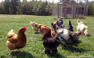 This flock was lost due to improper quarantine procedures when new chickens were brought into the backyard.