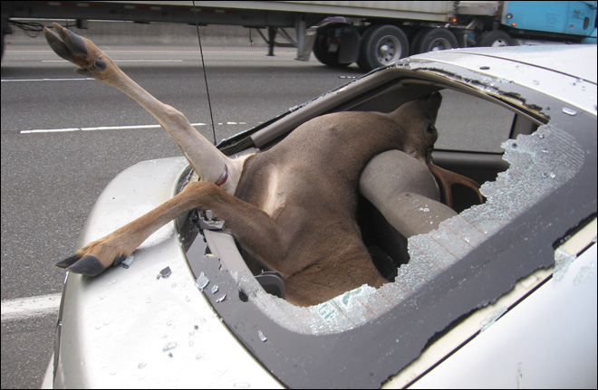 deer in my car: