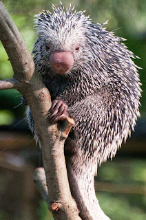 Congo Basin porcupine