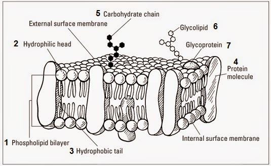 24 cell membranes fluid mosaic model of the plasma menbrane the fluid mosaic model of membrane structure ccuart Images