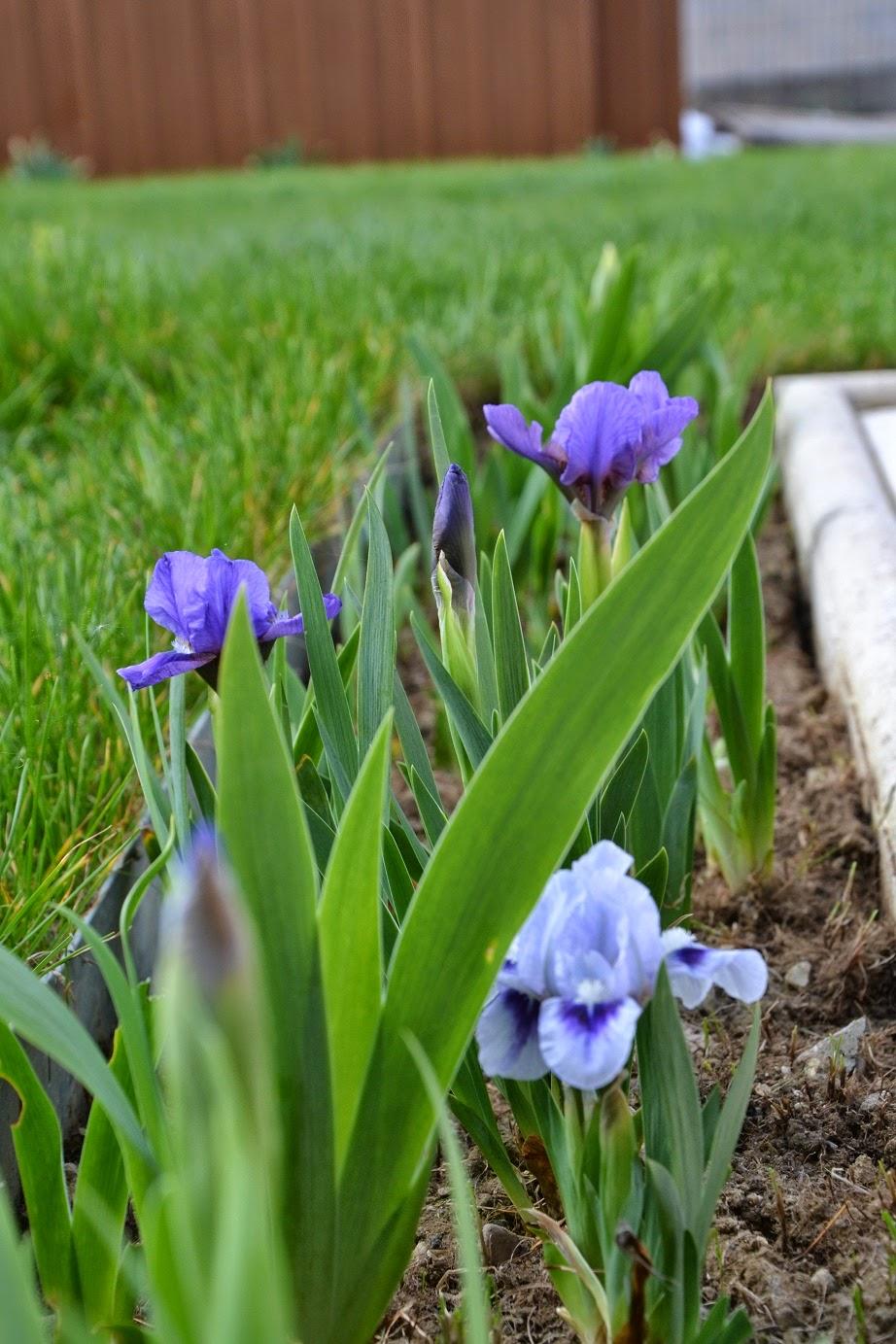 Petit jardin mosellan by caro massif iris - Iris ne fleurissent pas ...