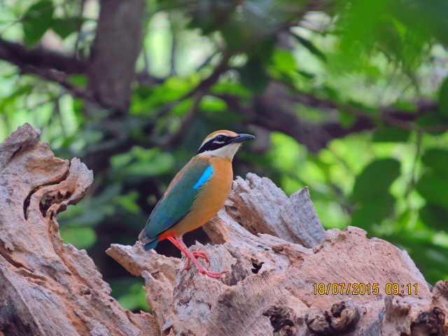 Colorful Birds in india : Indian Pitta