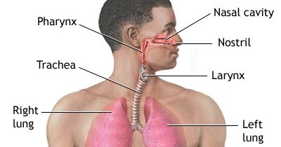 Anatomy chorlton: The Respiratory System is Located in Your Chest ...