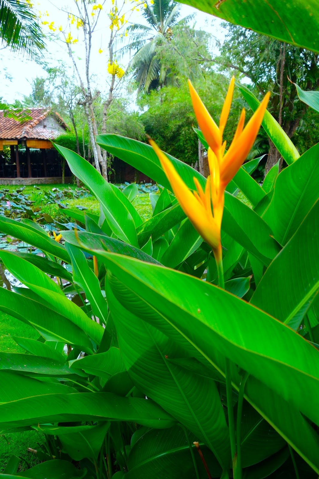 bird of paradise plants Vietnam 2015