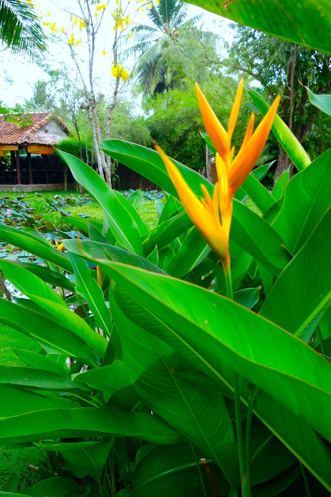 bird of paradise plants Vietnam 2015