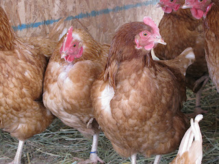 Chickens   Wordless Wednesday