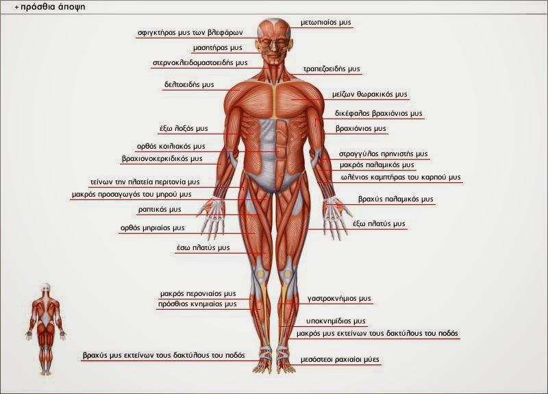 το ανθρώπινο σώμα. Μελέτη Δ τάξεις, εκαπιδευτικά λογισμικά, ασκήσεις on line για τη μελέτη Δ τάξης, Διαμαντής Χαράλαμπος