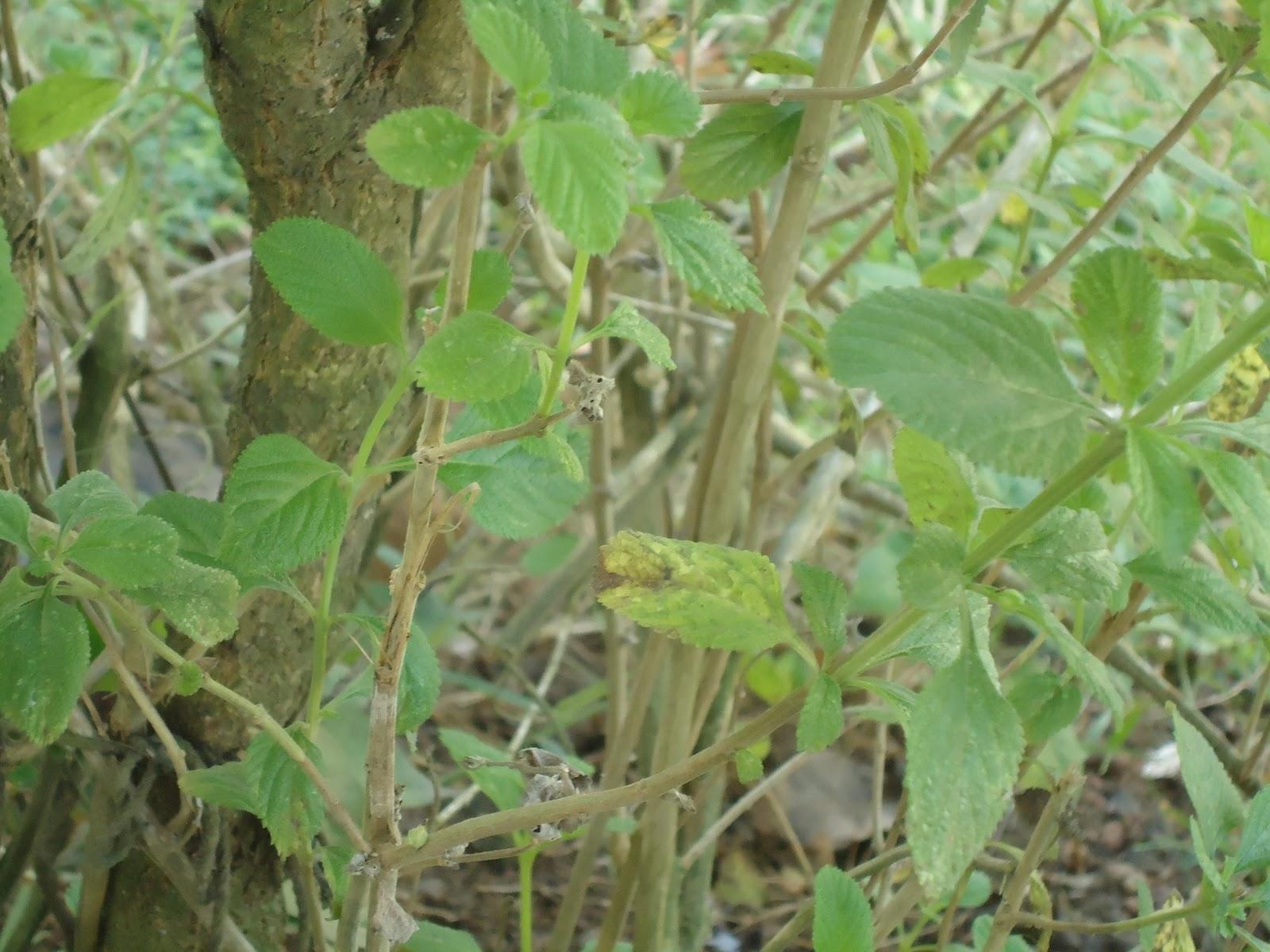 Orozuz planta benefactora for Planta decorativa propiedades medicinales