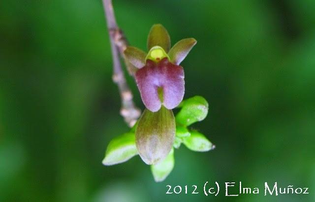 Orquidea miniatura botanica flor