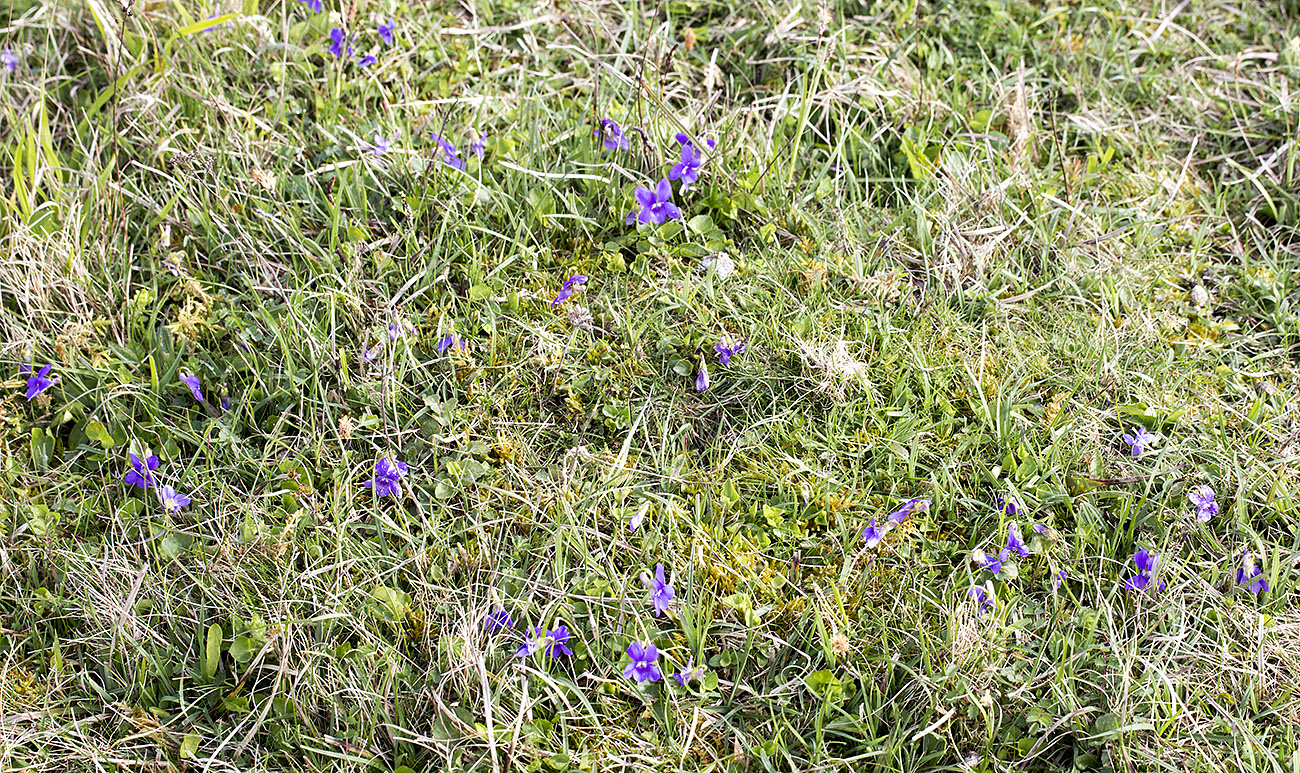 Common Dog-violet, Viola riviniana.  Kemsing Down with the Orpington Field Club on 12 April 2014.