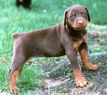 Cute Doberman Pinscher puppy playing in the park, breed dog, cute dog