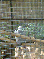 White Bellied Eagle