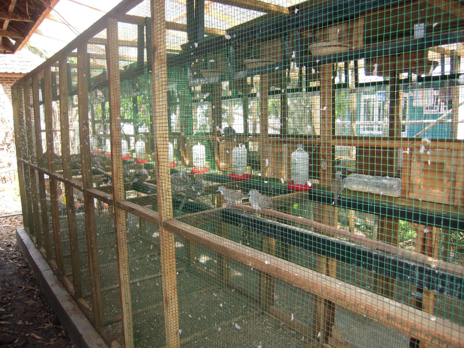 peternak perkutut pasuruan kandang penangkaran ucoks bird