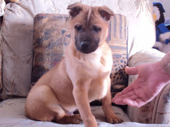 ARBA Thai Ridgeback male Puppy