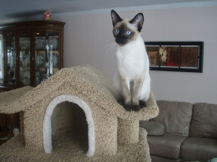 Seal point Siamese kittens available.